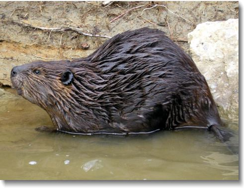 Beaver Pictures & Facts
