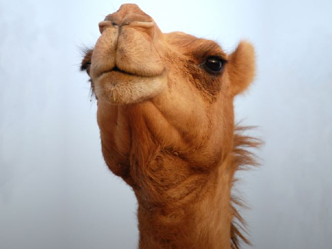 Camel Face. Photo Credit: eNil