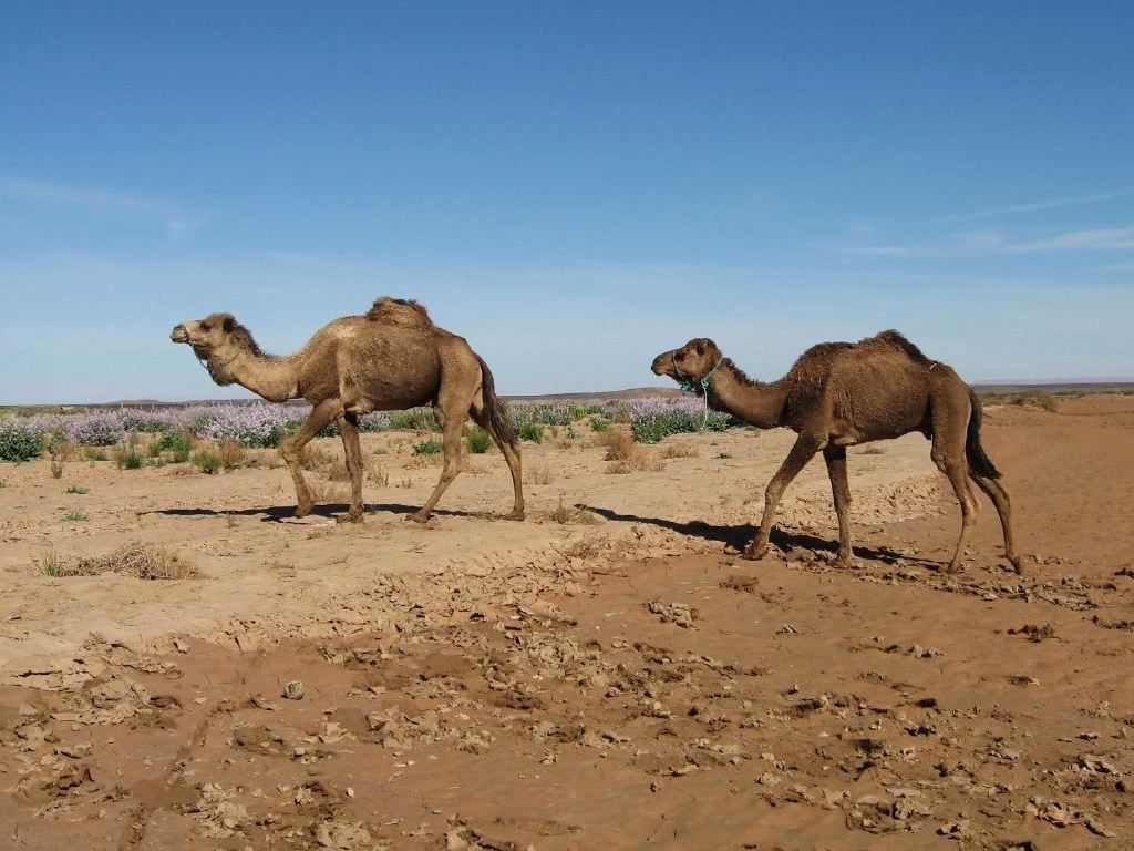 Camels grow to seven feet 2 1