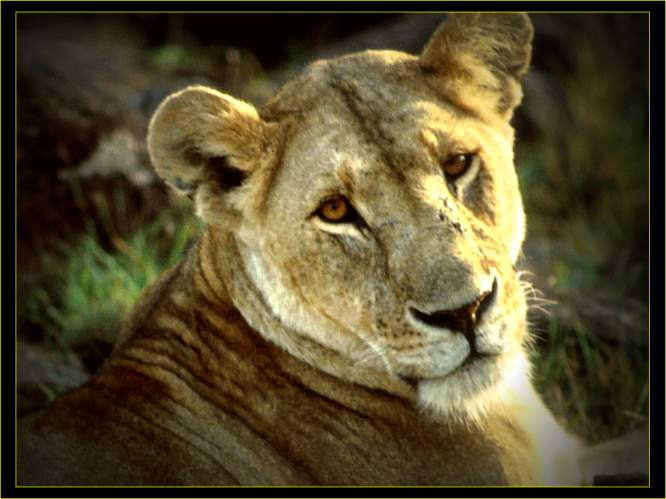 Lion Pictures and Facts