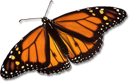 http://fohn.net/monarch-butterfly-pictures/monarch-butterfly_large.jpg