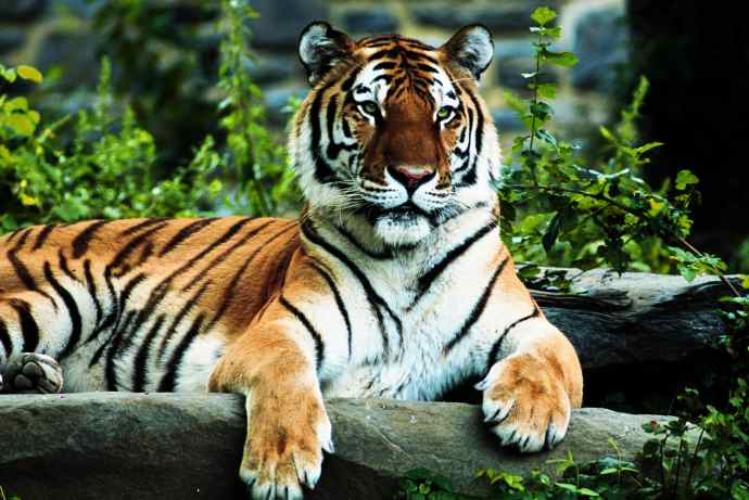 Tiger Pictures Amp Facts