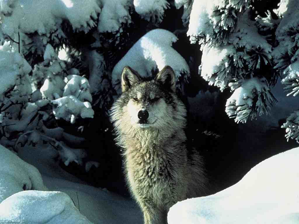 The Wolf Den: wolf pictures, facts, & resources